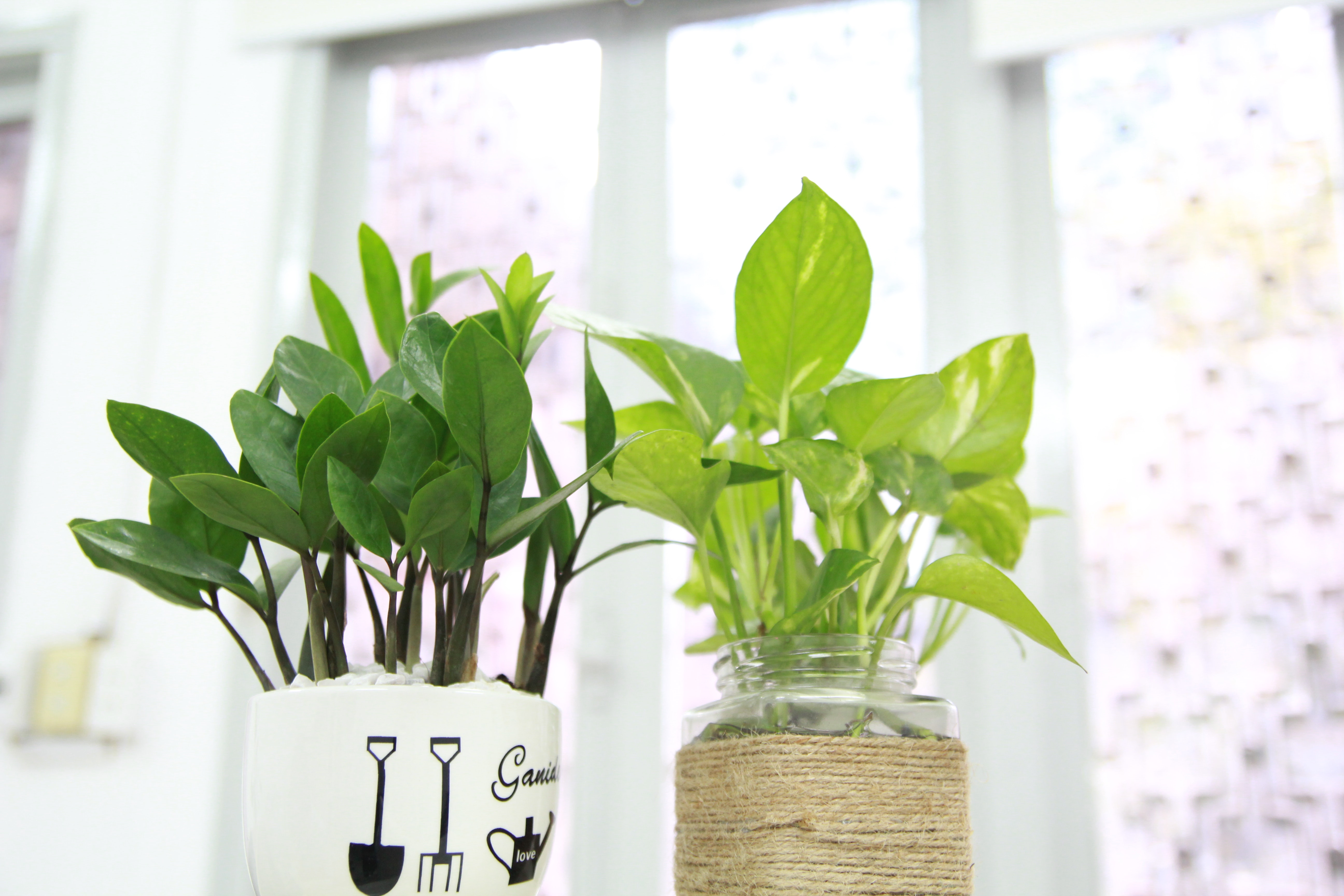 Two houseplants by a window