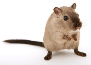 A brown rat on a white background