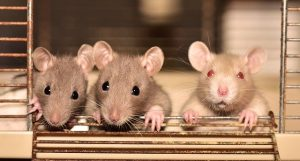 three rats standing in a cage