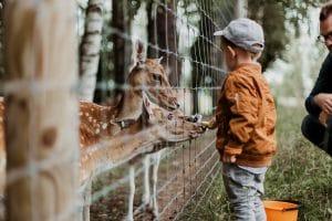 a child feeding antelopes