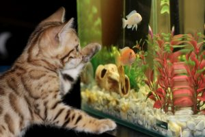 kitten watching fish