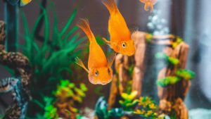 pack an aquarium for transport that has two gold fish