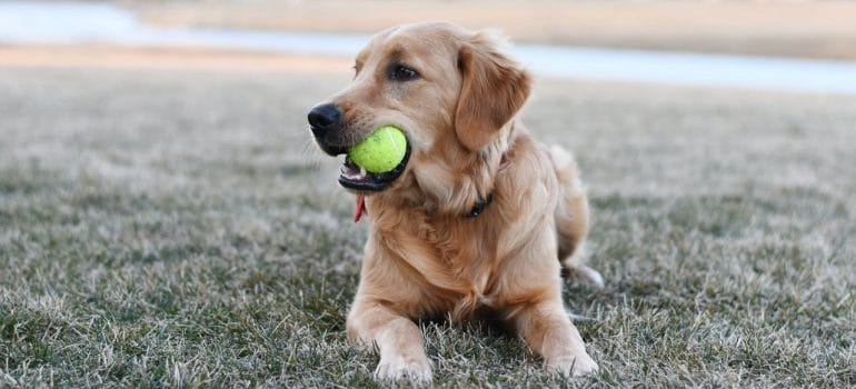A dog with his ball.